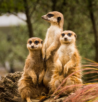 Edinburgh Zoo, Meercats